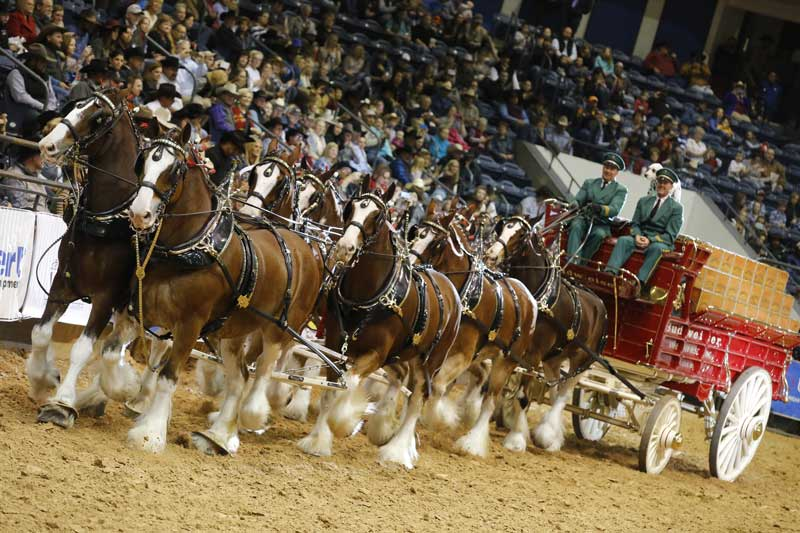 2512 – They're back! To help celebrate the World Championship Ranch Rodeo's 20th anniversary, the Budweiser Clydesdales are back in Amarillo!